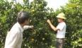 Các nhà vườn sẵn sàng cho hội chợ cam bưởi năm 2020