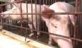 Giải pháp phòng chống dịch tả lợn Châu Phi