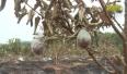 Lục Nam: Liên tiếp xảy ra trộm cắp, phá hoại sản xuất nông nghiệp