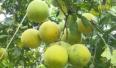 Lục Ngạn đẩy mạnh thâm canh cây ăn quả có múi