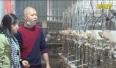 Mô hình nuôi chim bồ câu cho thu nhập tiền tỷ mỗi năm