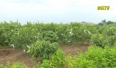 Tân Yên phát triển vùng cây ăn quả đặc trưng