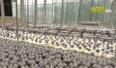 Tăng cường liên kết chuỗi trong sản xuất nấm