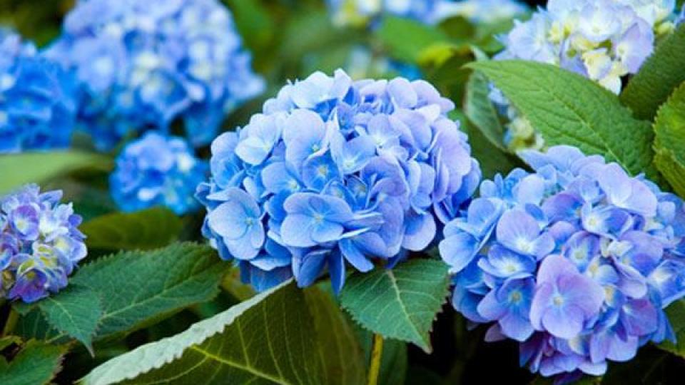 Kể chuyện cổ tích: Sự tích hoa cẩm tú cầu