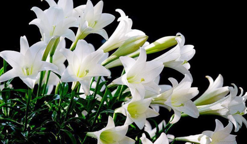 Kể chuyện cổ tích: Sự tích hoa huệ tây (hay là hoa loa kèn)