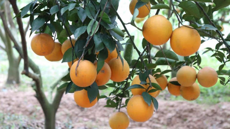 Văn hóa và Du lịch: Trải nghiệm mùa cam, bưởi Lục Ngạn