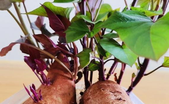 Thực hư ăn khoai lang mọc mầm có hại cho sức khoẻ