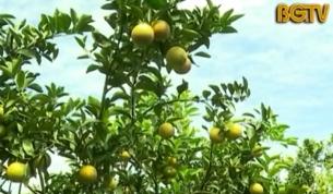 Lục Ngạn: Vùng đất hoa trái