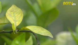 CTT: Thực trạng báo động bệnh vàng lá trên cây có múi