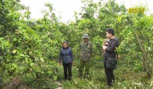 Tập trung chăm sóc cây có múi sau thu hoạch