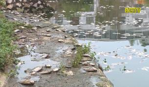 TP Bắc Giang: Cá chết nhiều tại hồ điều hòa Tư Thục