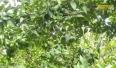 Lục Ngạn tập trung giải pháp phát triển cây cam một cách bền vững