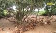 Tạo hiệu quả bền vững trong phòng dịch bệnh trên đàn gà