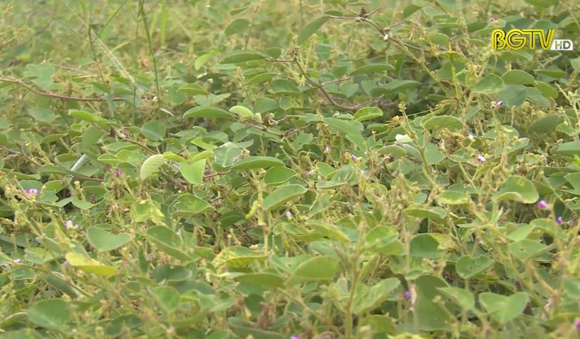 Tạp chí NNNT: Hiệp Hòa – Liên kết sản xuất cây thảo dược