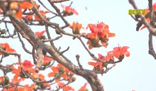 Độc đáo hoa gạo tháng 3