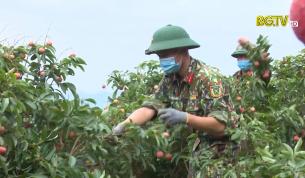 Cán bộ, chiến sĩ Trường bắn Quốc gia khu vực 1 giúp dân thu hoạch vải thiều