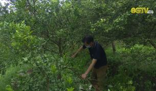 CTT: Giải pháp nào để cây Cam đường phát triển