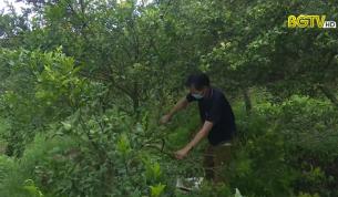 Lục Ngạn: Nhiều hộ dân chặt bỏ cây cam đường